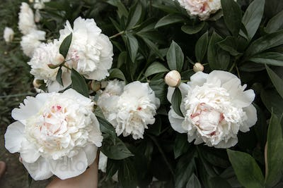 Close-up of a blooming white peony bush.