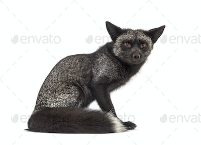 Sitting Silvers Fox, isolated on white background