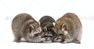 three raccoons eating from a dog bowl
