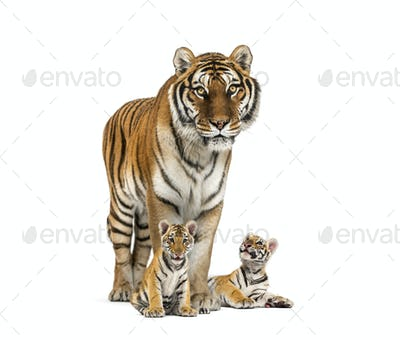 Tiger and her cubs standing in front, white background