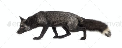 Side view of a Silvers Fox running away, isolated