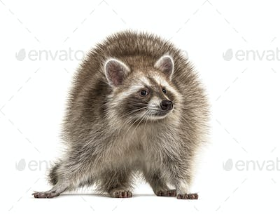 Red Raccoon standing and facing at the camera isolated on white