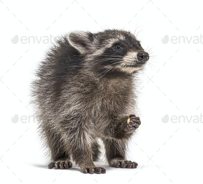 Young raccoon eating, isolated on white