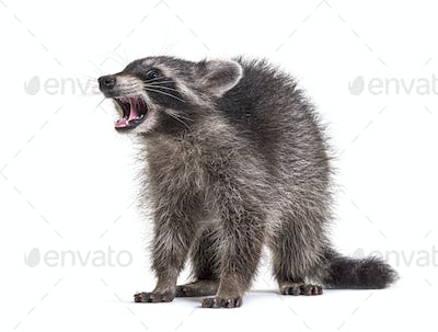 raccoon showing its tooth, standing in front, isolated on white