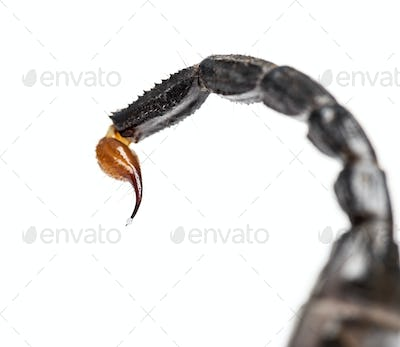Close-up of a drop of venom on the tail of a Emperor scorpion, P