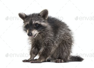 raccoon standing in front, isolated on white