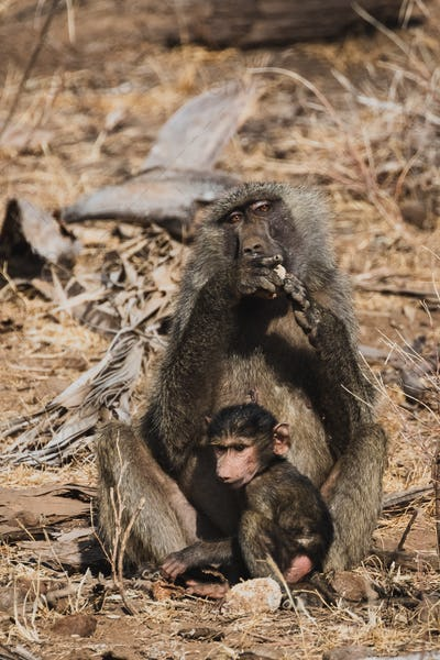 Animals in the wild - Mother and baby baboons in Samburu National Reserve, North Kenya