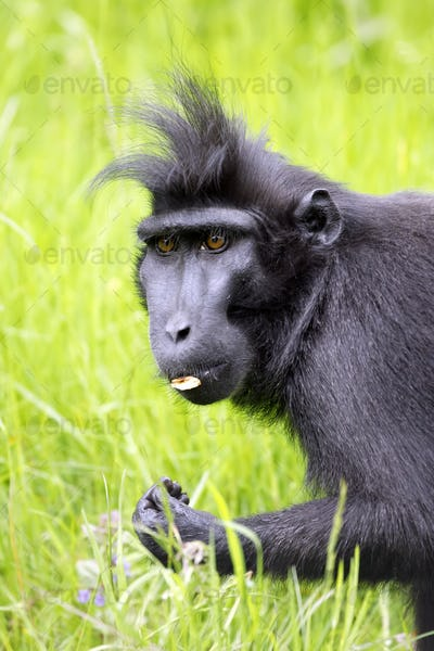 a cute Celebes crested macaque (Macaca nigra) on the green grass