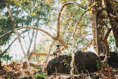 Goa, India. Funny Gray Langur Monkey With Closed Eyes Relax Sitting On Stone In Jungle Forest
