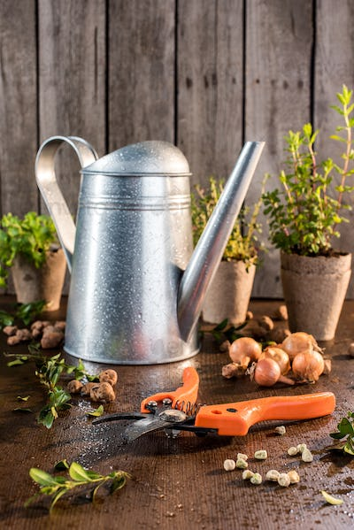 garden pruner with watering can and different herbs behind on wooden table, garden tools background