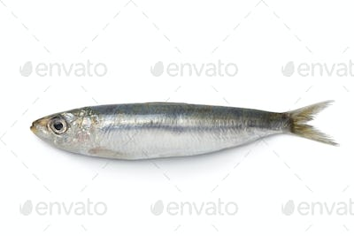 Whole single fresh sardine
