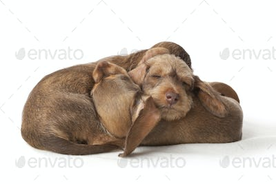 Wire-haired dachshund puppies sleeping togethe