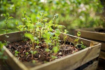 mint plants growing in raised bed garden