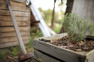 thyme plant in raised bed