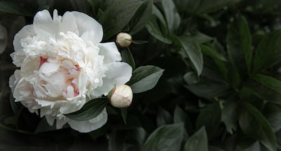 Close-up of a peony blooming on a bush.