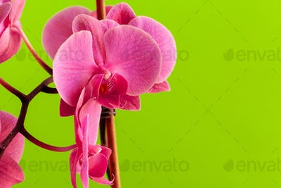 Close up of beautiful phalaenopsis orchid flowers