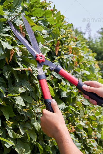 Vertical shot young hands with garden shear trimming the bush.