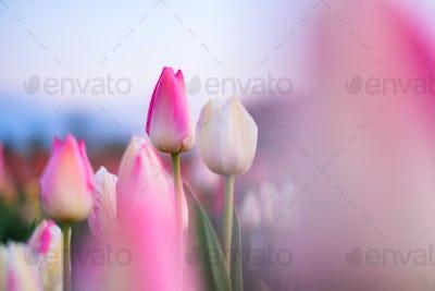 Tulip fields in the Netherlands. Tulips in bloom in springtime. Flowers as a backdrop.