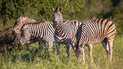 Four Common Zebra