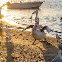 Pelicans in a Funny Pose Rivershore in Noosaville, Queensland, Australia. Wild Animal Concept