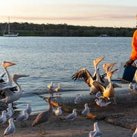 Rear View of Man Feeding Pelicans in a River Bank at Sunset Time.Animal Charity Concept
