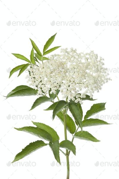 Elderberry flower and leaves