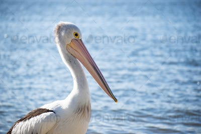 Close up of Pelican Standing on a Riverside in a Sunny Day.Isolated Pelican. Wild Animal Concept