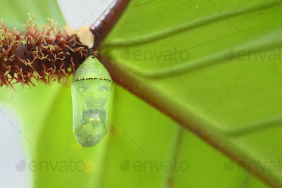 Tropical butterfly cocoons chrysalis, hanging from a leaf and ready to hatch.