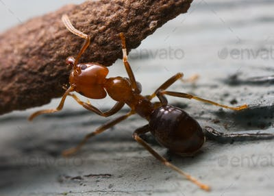 Strong ant (1)