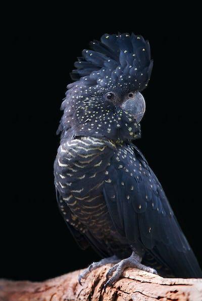 black cockatoo portrait