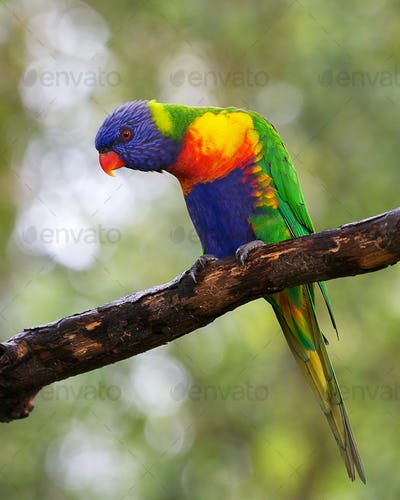 Single lorikeet