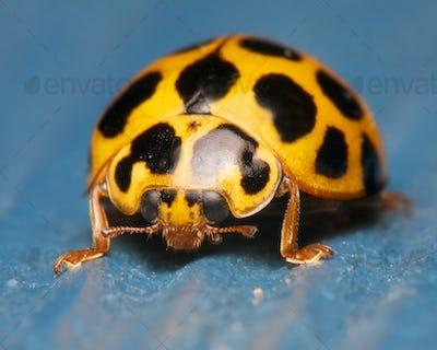 ladybug on blue