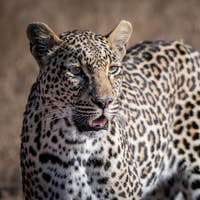 A leopard, Panthera pardus, stands in the sun, looking out of frame