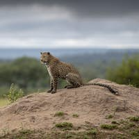 A leopard, Panthera pardus, sits on a termite mound, thunder clouds in background