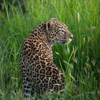 A leopard, Panthera pardus, site in long green grass, turning over her shoulder