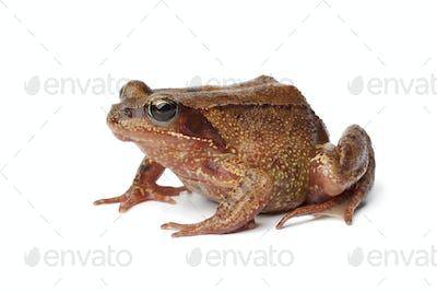 Common brown frog en profile