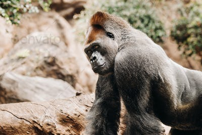 a Western lowland Gorilla with a pouty expression.The gorilla looks at me