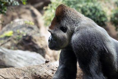 western lowland gorilla in nature.Big Gorilla