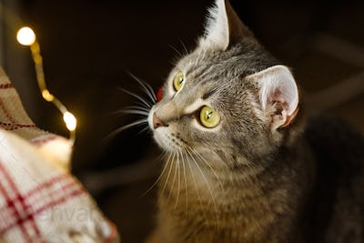 The gray cat looks at the Christmas garland with curiosity. Cat and cozy new year and christmas
