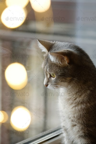A gray cat is sitting by the window. Cozy christmas. Cat and Christmas lights. Cat and christmas.