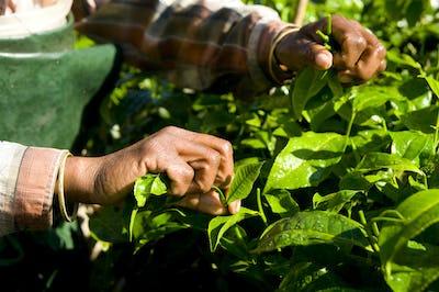 India Woman Harvesting Tea leaves