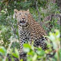 A leopard, Panthera pardus, sits on a log and looks up, surrounded by greenery
