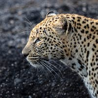 The side profile of a leopard, Panthera pardus against a dark background