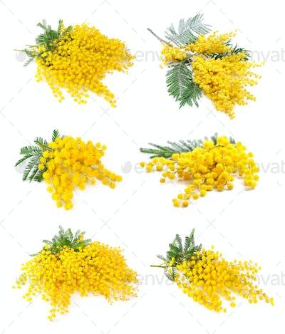 Mimoza flowers
