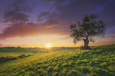 Olive tree at sunset. Maremma countryside landscape. Bibbona, Tuscany Italy