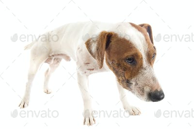 wounded jack russel terrier