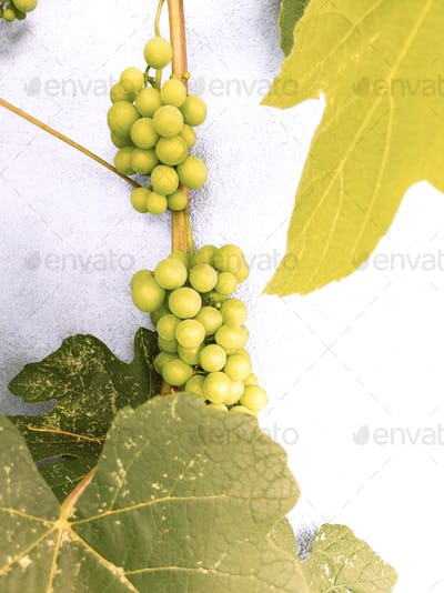 Grape wild on white wall background. Plant aesthetic wallpaper. Travel. Slovenia. Piran