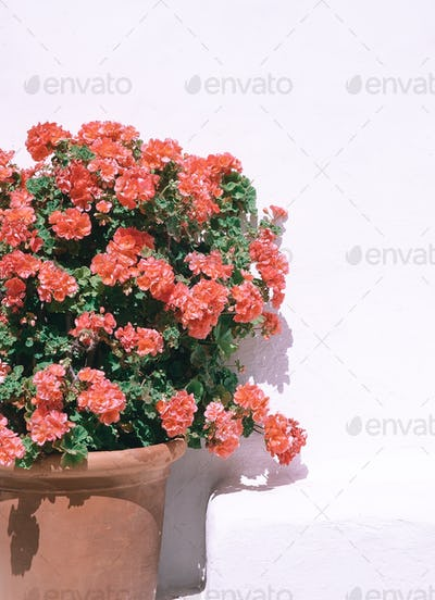 Red flowers on white wall background. Plant aesthetic minimal wallpaper. Travel. Canary island