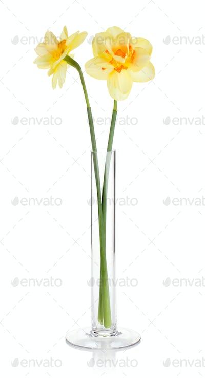 Yellow daffodils in vase