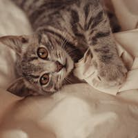 Tabby gray striped cat  relaxes on bed